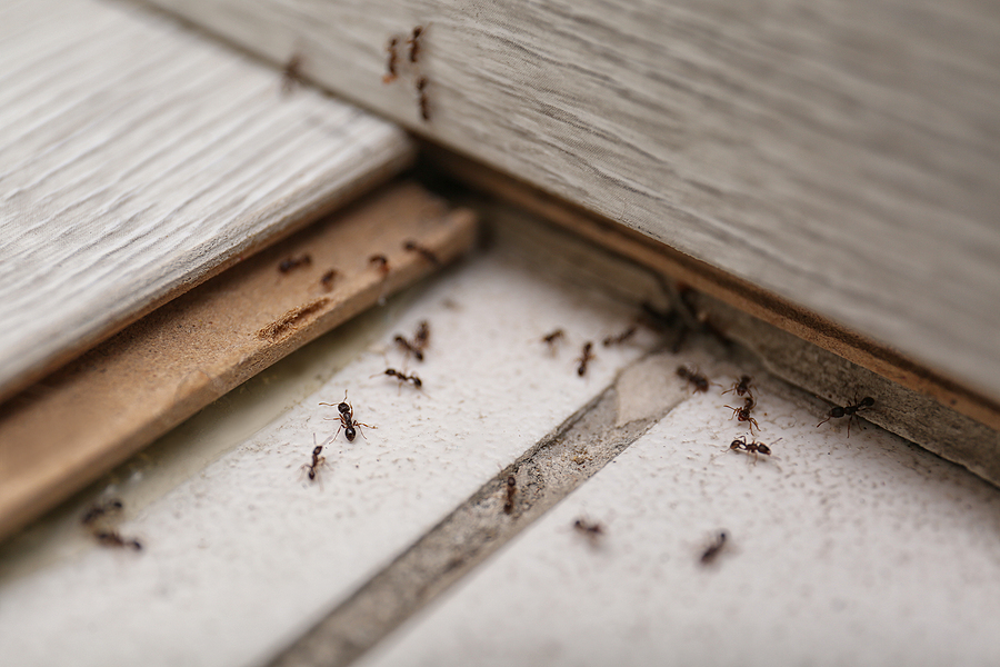 Many black ants on floor at home
